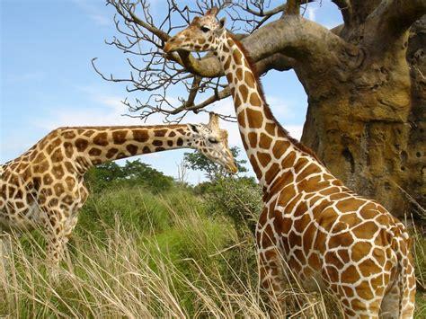 Imagenes Jirafas Tiernas | dibujos jirafas tiernas imagui