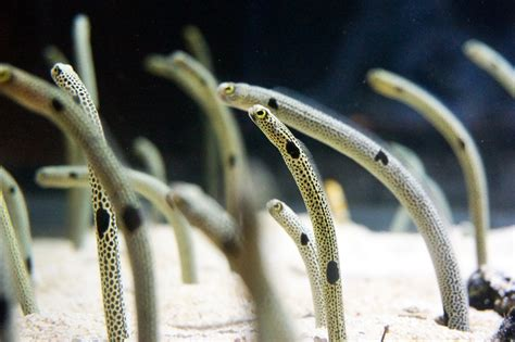 Spotted Garden Eel by Spotted Garden Eel Brooches On Behance