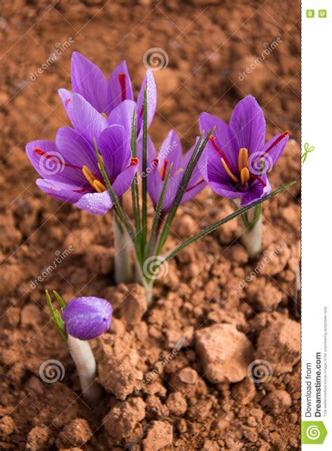 fiore dello zafferano fiore dello zafferano immagine stock immagine di fiore