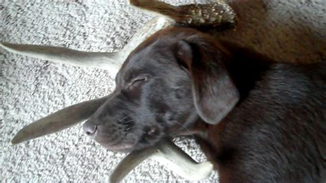 Shed Dogs For Sale by Puppy For Sale Idaho Shed Antler