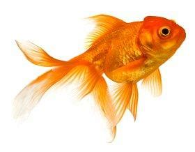 can dogs eat goldfish what do goldfish eat lovetoknow
