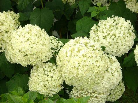 imagenes de hortencias blancas hortensias blancas jimena ja 233 n