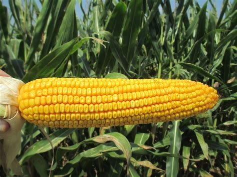 Corn L by Corn N Stuff Oley Valley Hicks