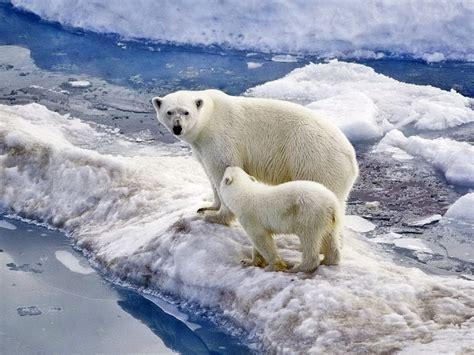 polar bear family baby snow ice ocean wallpaper widescreen