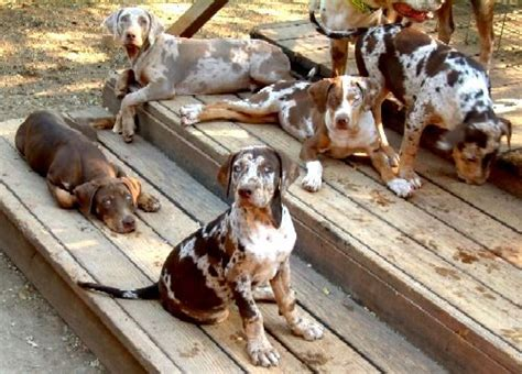 dreamland havanese 271 best catahoula leopard dogs images on leopard leopards and