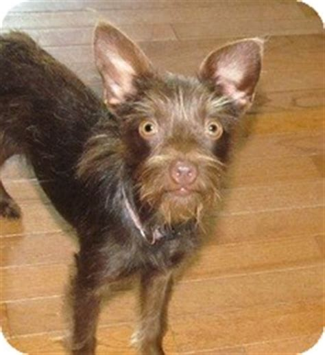 affenpinscher yorkie mix mocha adopted house springs mo affenpinscher yorkie terrier mix