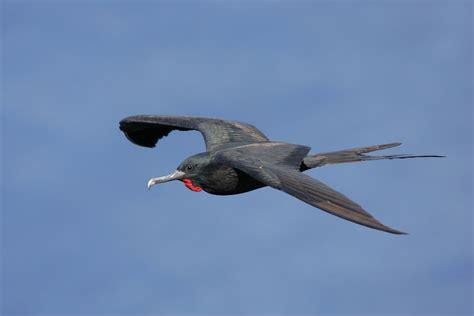 Great frigatebird | New Zealand Birds Online