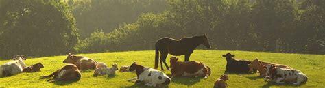 alimentazione vacche da latte mangime per vitelli da carne e vacche da latte erba