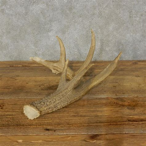 Whitetail Shed by Whitetail Deer Antler Shed For Sale 16208 The Taxidermy