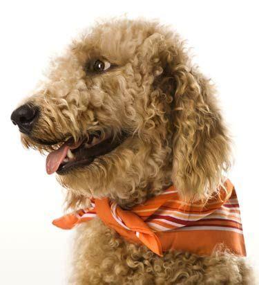 goldendoodle puppy behavior problems 17 best ideas about goldendoodle temperament on