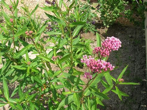 how to grow butterfly weed growing butterfly weed and