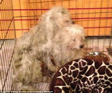 pet stores in michigan that sell puppies animal cruelty mystery after a dozen emaciated maltese poodles are dumped near