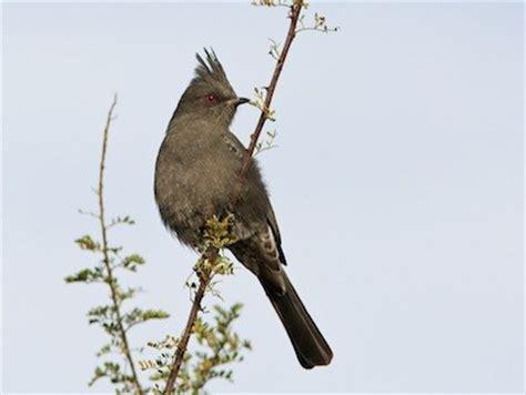 phainopepla identification all about birds cornell lab
