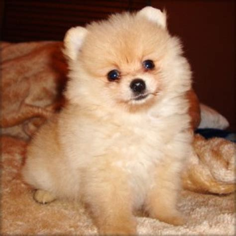adopt a teacup pomeranian teacup pomeranian puppies tea cup pomeranian puppies available for adoption