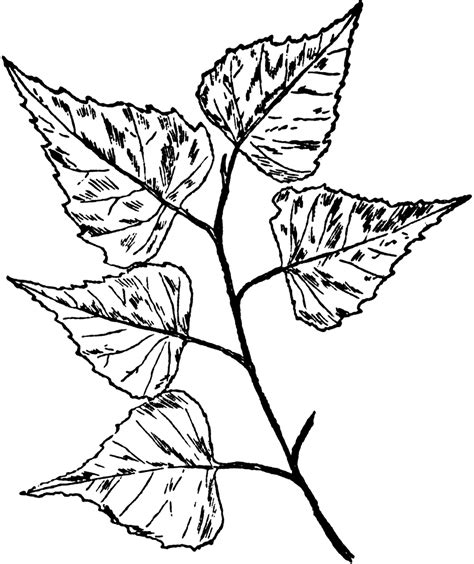 birch leaf coloring page free coloring pages of birch leaf