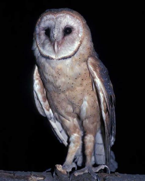 Piyama Owl Blue Piyama Owl barn owl audubon field guide