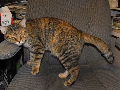 Differences Between Calico, Tortie, And Torbie?