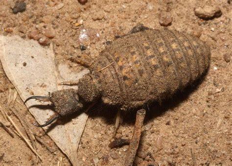 doodlebug insect larvae antlion insects morphology