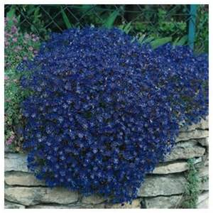 amazon com 50 aubrieta rock cress bright blue perennial flower seeds ground cover