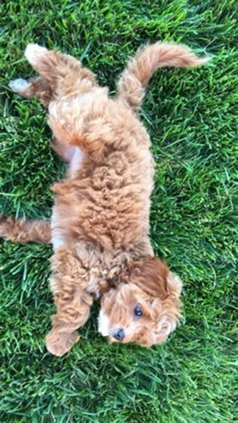 petit jean puppies petit jean puppies goldendoodle puppies for sale cavapoo and animal