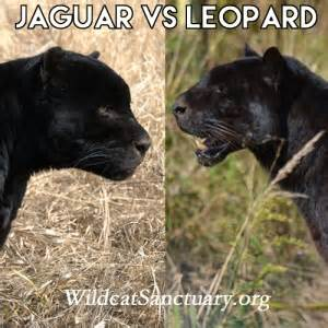 Jaguar Vs Mountain Visual Comparisons Thread