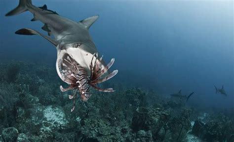 imagenes leones vs tiburones entrenan a los tiburones caribe 241 os para detener la
