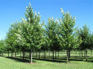 quality wholesale shade trees for indiana landscapers