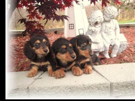 yorkies for sale in vancouver wa dachshund puppies for sale akc marketplace