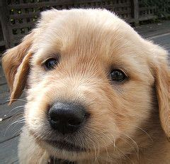 golden retriever puppy nipping best 25 puppy biting ideas on stop puppy biting a puppy and