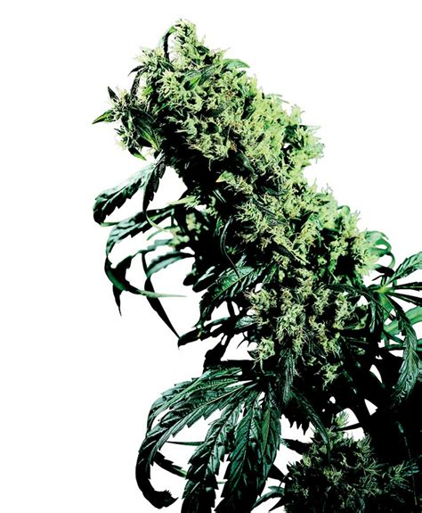 northern lights x skunk 1 cannabis seeds seed mine northern lights 5 x haze strain sensi seeds cannapedia