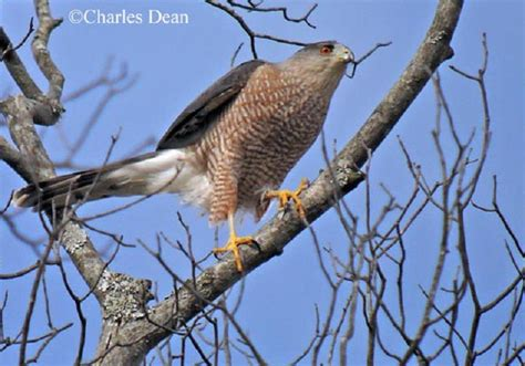 type of hawks in tn tennessee watchable wildlife cooper s hawk habitat 1