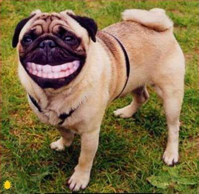 why does my pug his paws 10 images about animals with teeth on doggies and dental