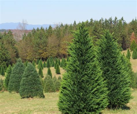 28 best south carolina christmas tree farms south