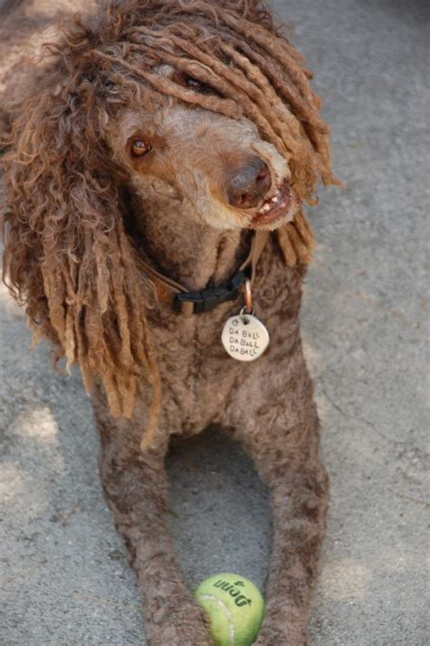 How To Do A Bob Marley Poodle Cut On A Dog | poodles standard poodles and bob marley on pinterest