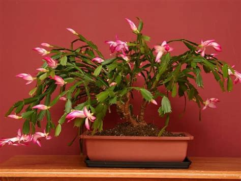 christmas cactus bloom grow details