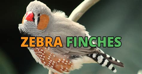 zebra finch housing zebra finch care guide lifespan price diet and breeding