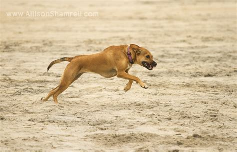 running dogs my bailey at the coronado san diego pet photographer allison