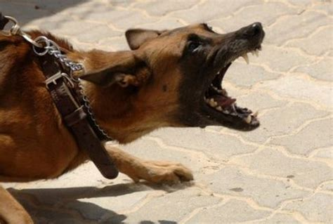 rabies symptoms in dogs symptoms of rabies in dogs pets care