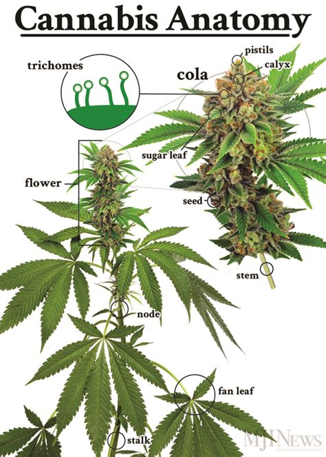Cannabis Flower by Marijuana 101 Parts Of The Plant Mjinews
