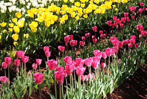 tulipani in giardino il tulipano fiori in giardino