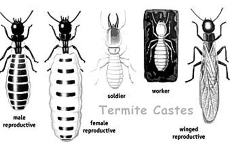 section 1 termite a few termite pictures