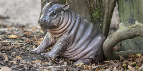 baby pygmy hippo pygmy hippo named born in swedish zoo huffpost
