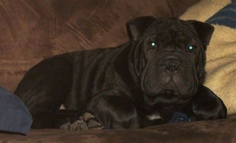 bull pei puppies bull pei breed information and pictures