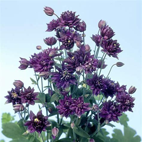 columbine clementine dark purple divisions 2017 pinterest dwarf plants and perennials