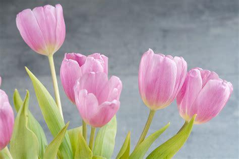 il fiore tulipano immagini fiorire fiore petalo tulipano vicino