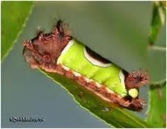 animal tattoo geraldton saturniidae moth поиск в google насекомые pinterest