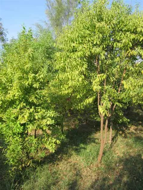 sandal wood tree medicinal plants sandalwood uses and images