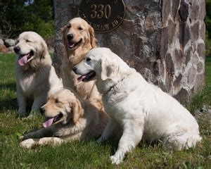 golden retriever puppies ma crane hollow goldens