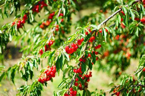 Arbuste à Fruits Rouges by Arbuste Fruits Rouges Great With Arbuste Fruits Rouges