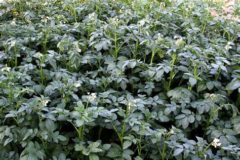 pomme de terre semer et planter ooreka